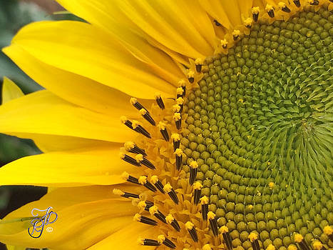 Sunflower close up by Raewyn Forbes