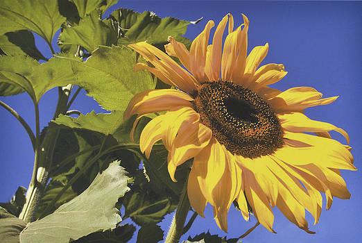 Sunflower by D Laird Allan