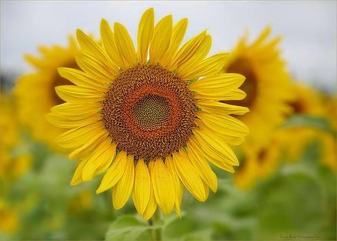 Sunflower by Daniel Behm