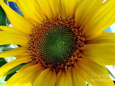 Sunflower Delight by Jaunine Roberts