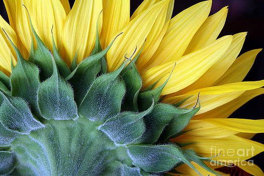 Sunflower by Denise Woldring