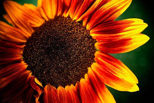 Sunflower by Eric Ferrar