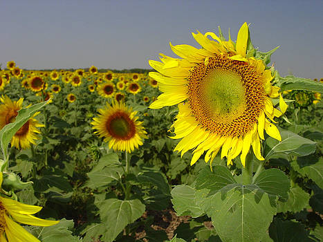Sunflower Field 1 by Maxwell Amaro
