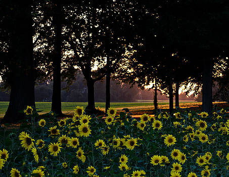 Sunflower Field at Sunset by Donna Harding