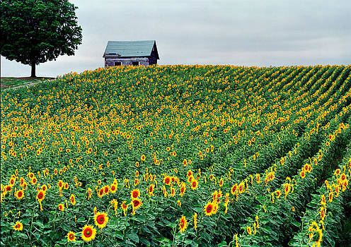 Sunflower Field in West Michigan by James Rasmusson
