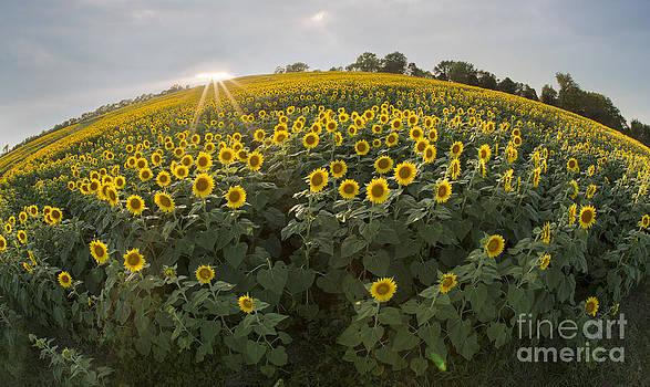 Sunflower field by Joenne Hartley