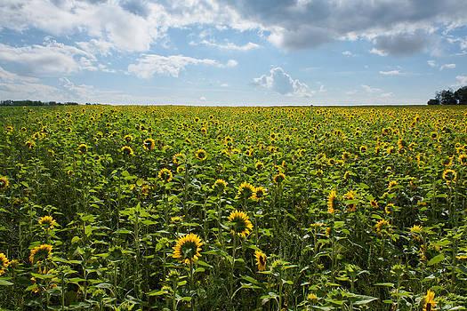 Sunflower Field by Matt Dobson
