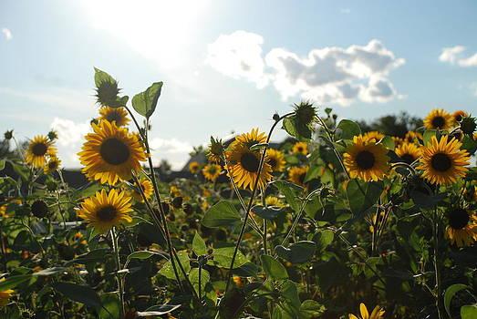 Sunflower for days by Andrew Barker