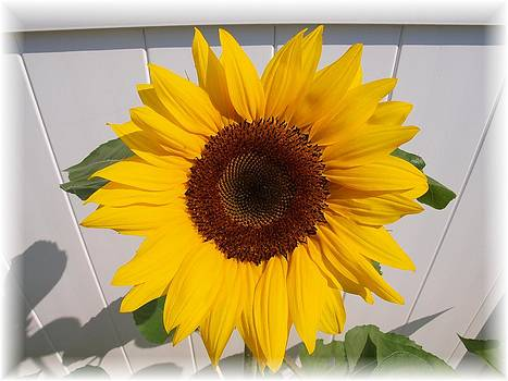 Sunflower for Eva by Judy  Waller