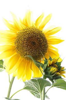 Sunflower by Gaitero