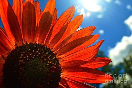 Sunflower Glow by Sharon L Stacy