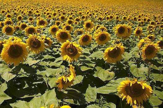 Sunflower by Gouzel -