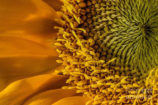 Sunflower Grace by Madonna Martin