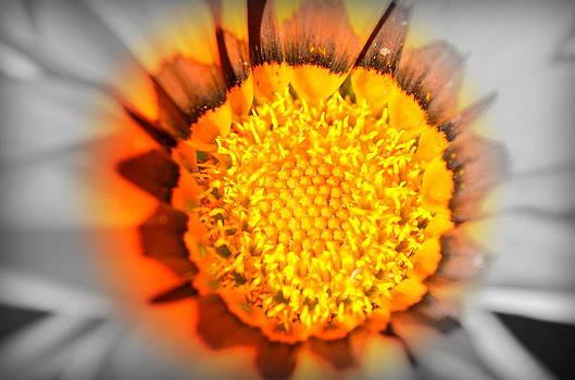 Sunflower Heart by Riad Belhimer