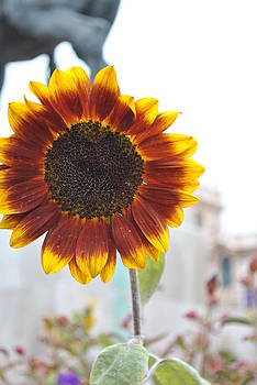 Sunflower in Balboa Park by Misty Stach