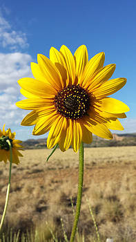 Sunflower in the Canyon by Justyne Moore