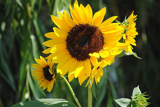 Sunflower by Janice Reed-Martin