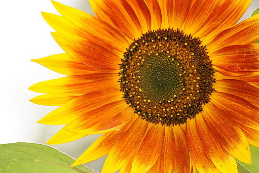 Sunflower by Jules Smith