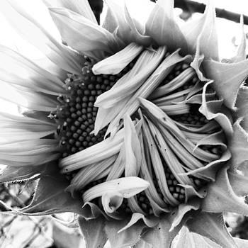 Sunflower by Julia Otulak