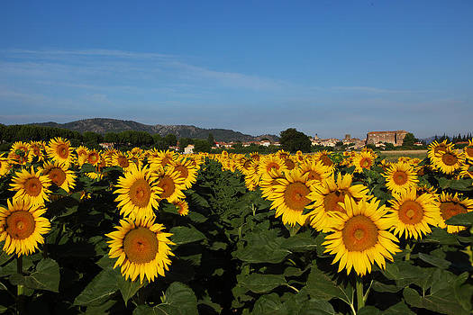 Susan Rovira - Sunflower Landscape 2