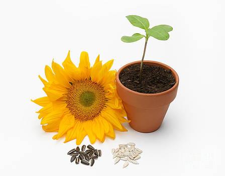 Martin Shields - Sunflower Life Cycle