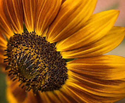 Sunflower  by Linda Storm