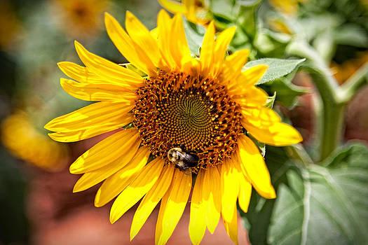 Sunflower Love by Gerald Adams