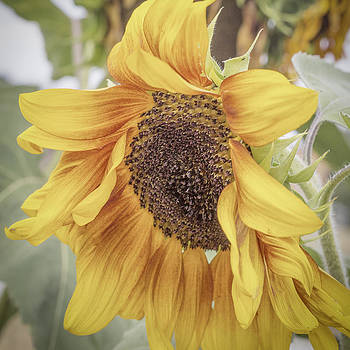 Sunflower Love by Mary Underwood