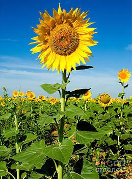 Mae Wertz - Sunflower