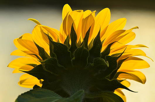 Sunflower by Maryrose Pries