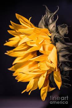 Sunflower by Nel Saints