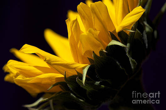 Sunflower by Nicole Markmann Nelson