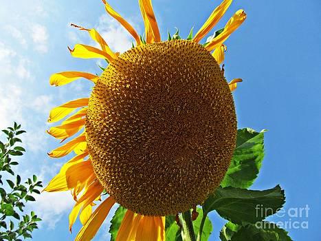 Sunflower by Olivia Narius