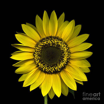 Oscar Gutierrez - Sunflower on Black