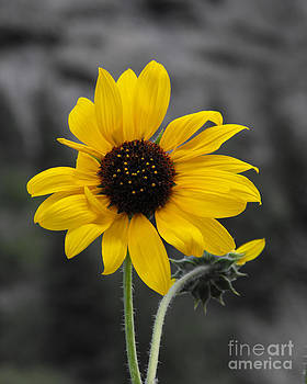 Sunflower on gray by Rebecca Margraf