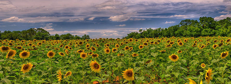 Sunflower panorama by Daniel Potter