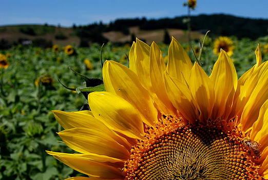 Sunflower Peekaboo by Mamie Gunning