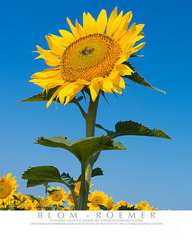 Sunflower Portrait by Kimberly Blom-Roemer