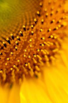 Sunflower by Rebecca Skinner