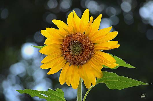 Sunflower by Richard Estrada