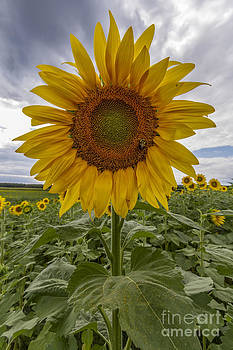 Sunflower by Robert Wirth