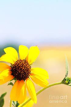 Sunflower Series Part I by ChelsyLotze International Studio