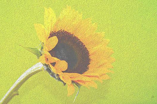 Sunflower by Sherry Allen