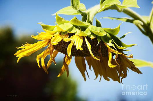 Nancy Stein - Sunflower Shower