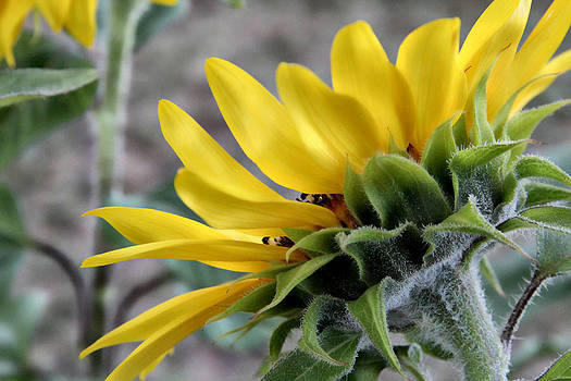 Sunflower Side View by Lynn Jordan