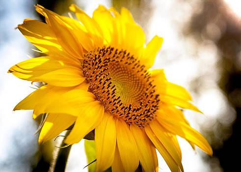 Sunflower by Stephanus Le Roux