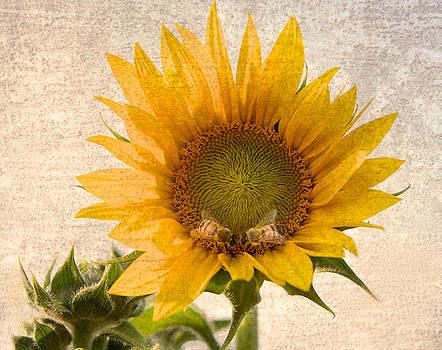 Sunflower - Sun Kiss by John Hamlon