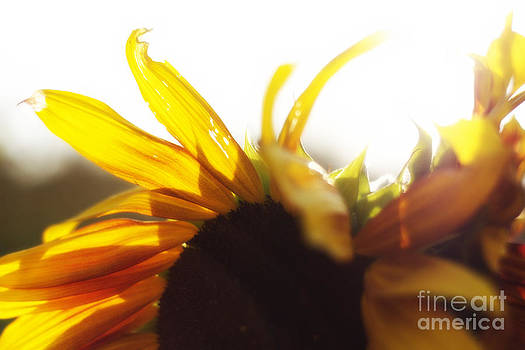 Alanna DPhoto - Sunflower Sunlight