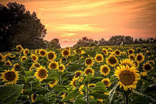 Sunflower Sunset by Steven Bateson