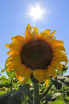 Sunflower Sunshine by Cassandra NightThunder